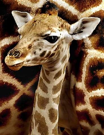 http://www.aftonbladet.se/nyheter/0303/01/NYHETER-01s09-giraffbaby-FRI-35_368.jpg